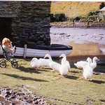 1961. By the Red Store. Richenda & Juliet Fenwick with Mrs Bennet's Aylesbury ducks.